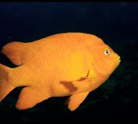 Garibaldi fish